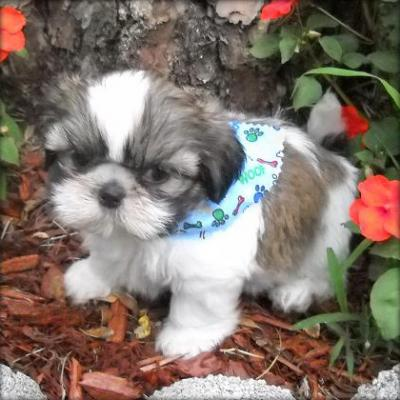 Cute Shih Tzu Puppies For Adoption Ad In Islamabad Pets Classifieds