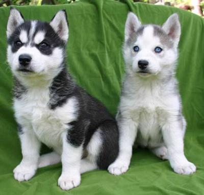 alaskan malamute puppies for sale in pakistan