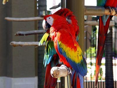 scarlet macaw parrots for sale ad in Lahore, Pets