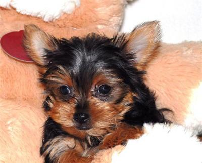 Pictures Of Yorkie Puppies. Tea Cup Yorkie Puppies For