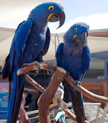 Hyacinth and Scarlet Macaw Parrots for sale ad in Peshawar