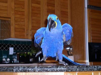 hyacinth macaw parrots ad in Gujrat, Pets classifieds For