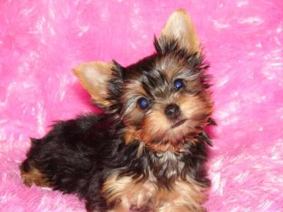 good puppies for kids. cute and adorable X-mass Tea cup Yorkie puppies ( , Skardu) We are having