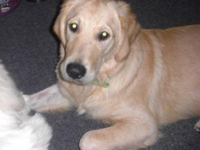 golden retriever puppies for sale in wisconsin. Golden Retriever Puppy ( pk)