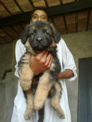 Pets ads in Punjab For Sale Pakistan Classified Ads Free