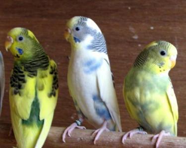 bajri australian parrots ad in Sindh, Pets classifieds For
